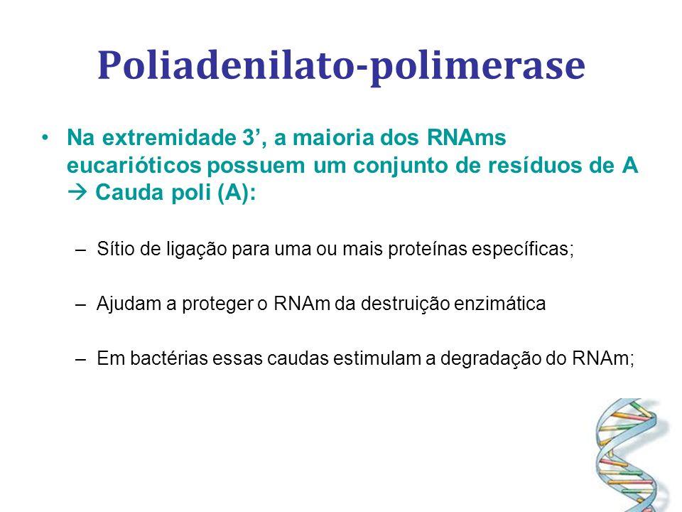 Na extremidade 3, a maioria dos RNAms eucarióticos possuem um conjunto de resíduos de A Cauda poli (A): –Sítio de ligação para uma ou mais proteínas específicas; –Ajudam a proteger o RNAm da destruição enzimática –Em bactérias essas caudas estimulam a degradação do RNAm;