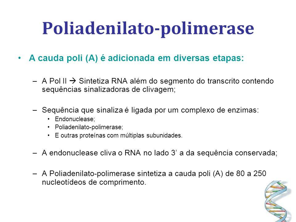 Poliadenilato-polimerase A cauda poli (A) é adicionada em diversas etapas: –A Pol II Sintetiza RNA além do segmento do transcrito contendo sequências