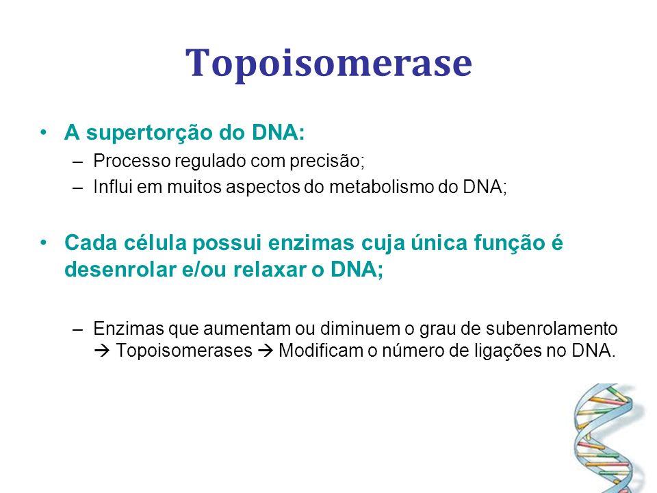 Topoisomerase A supertorção do DNA: –Processo regulado com precisão; –Influi em muitos aspectos do metabolismo do DNA; Cada célula possui enzimas cuja única função é desenrolar e/ou relaxar o DNA; –Enzimas que aumentam ou diminuem o grau de subenrolamento Topoisomerases Modificam o número de ligações no DNA.