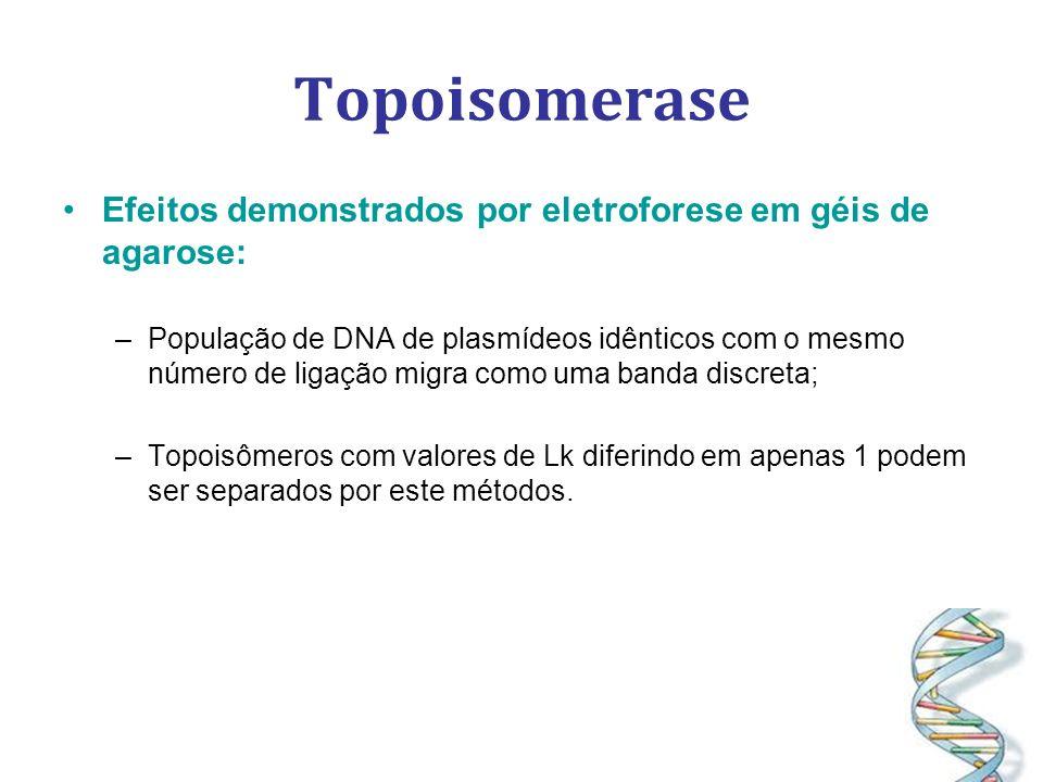 Topoisomerase Efeitos demonstrados por eletroforese em géis de agarose: –População de DNA de plasmídeos idênticos com o mesmo número de ligação migra