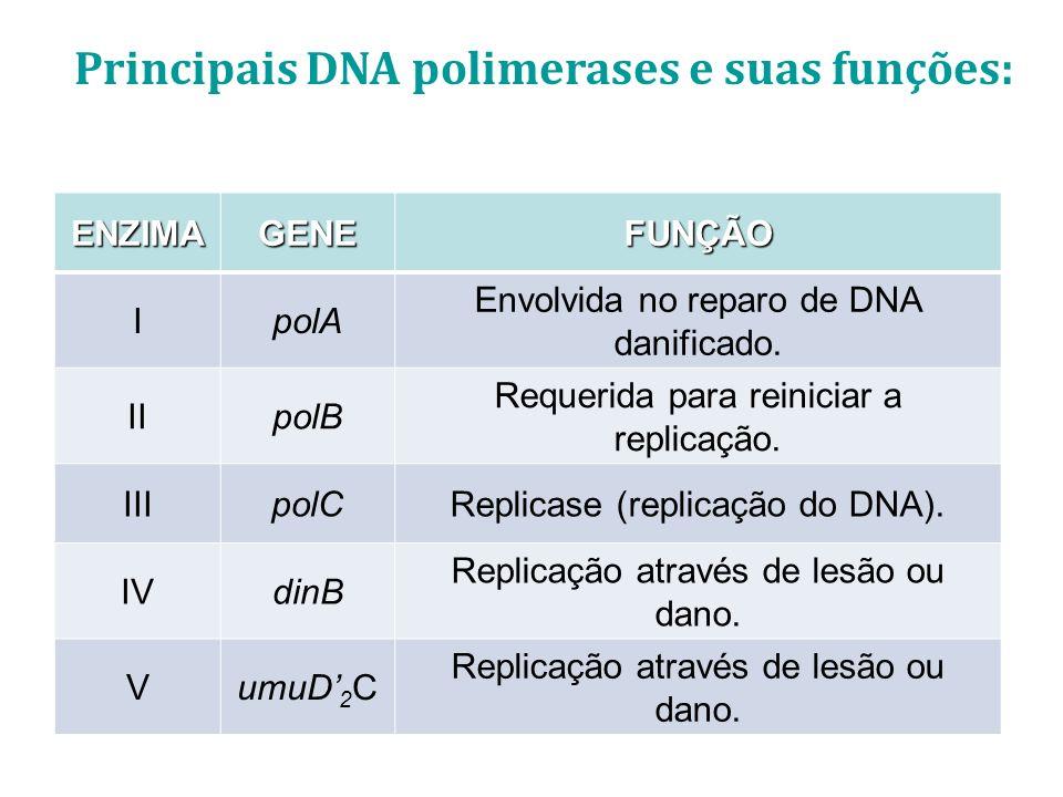 Principais DNA polimerases e suas funções: ENZIMAGENEFUNÇÃO IpolA Envolvida no reparo de DNA danificado. IIpolB Requerida para reiniciar a replicação.