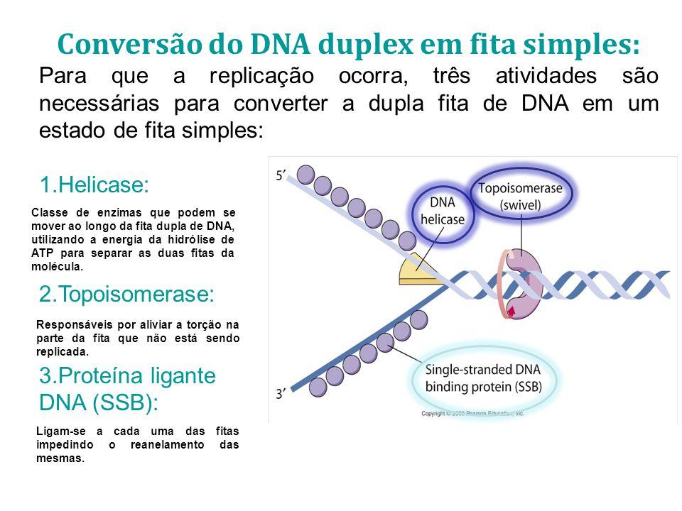 Conversão do DNA duplex em fita simples: Para que a replicação ocorra, três atividades são necessárias para converter a dupla fita de DNA em um estado de fita simples: 1.