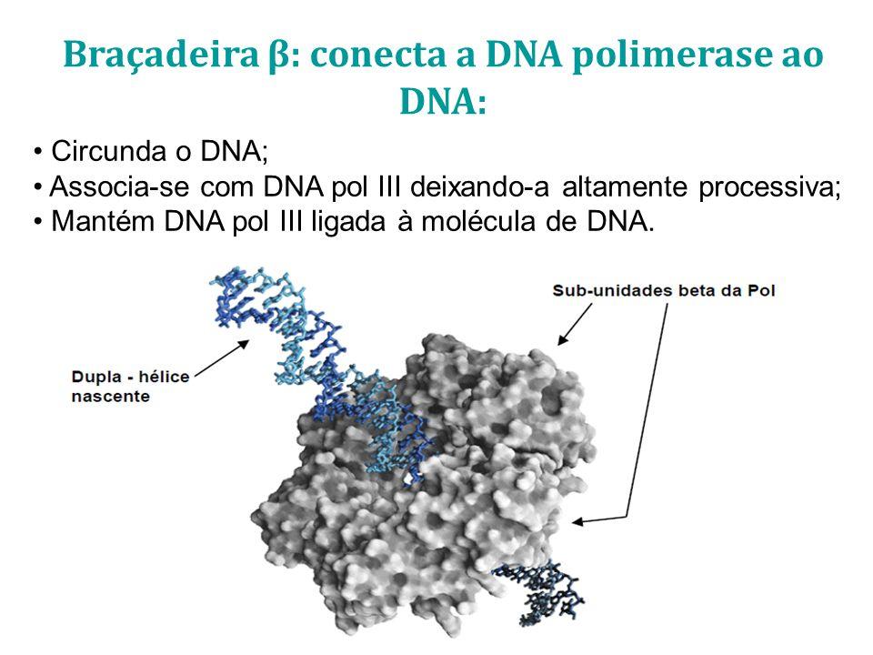 Circunda o DNA; Associa-se com DNA pol III deixando-a altamente processiva; Mantém DNA pol III ligada à molécula de DNA. Braçadeira β: conecta a DNA p