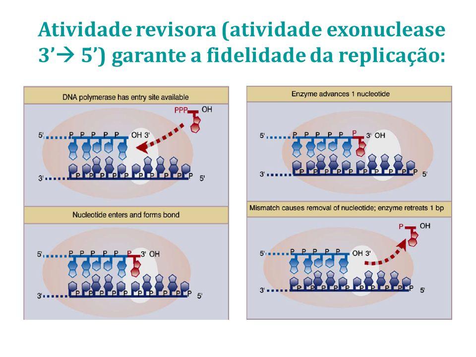 Atividade revisora (atividade exonuclease 3 5) garante a fidelidade da replicação: