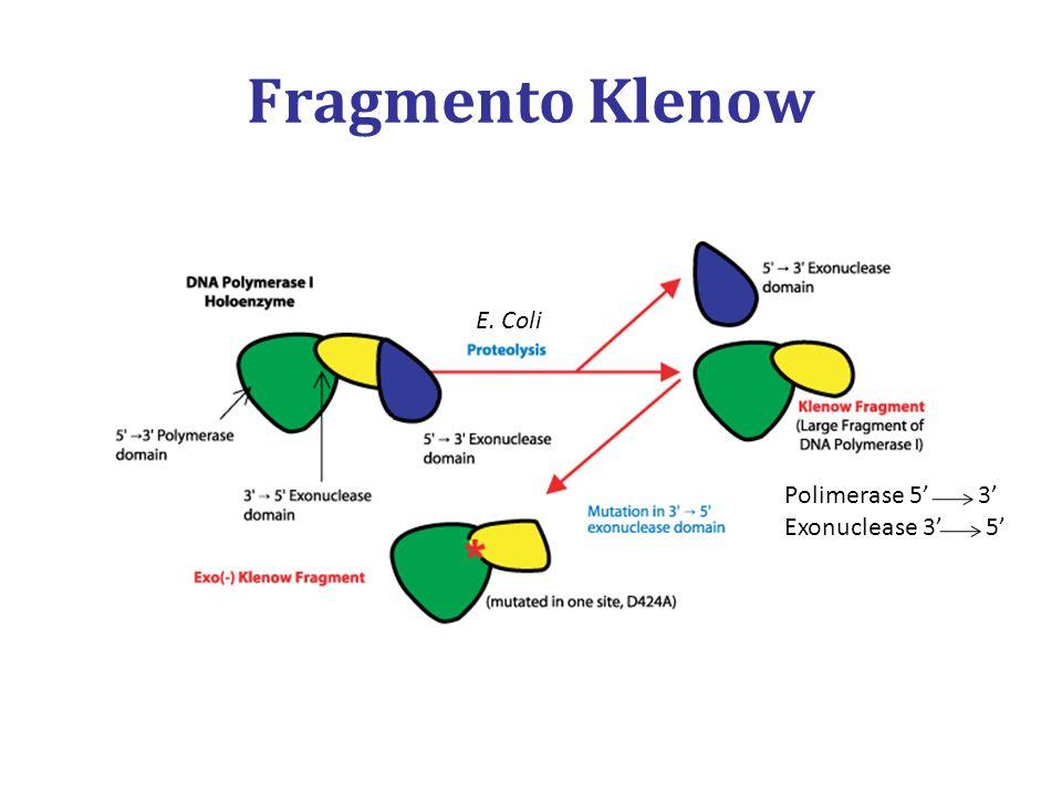 Fragmento Klenow Polimerase 5 3 Exonuclease 3 5 E. Coli