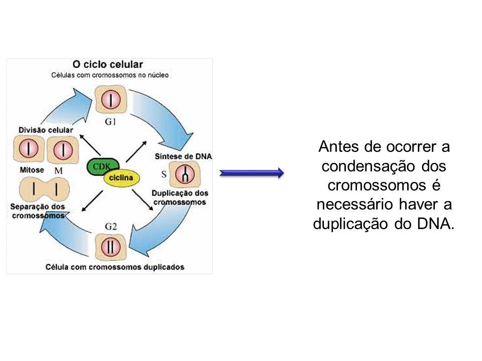 Antes de ocorrer a condensação dos cromossomos é necessário haver a duplicação do DNA.