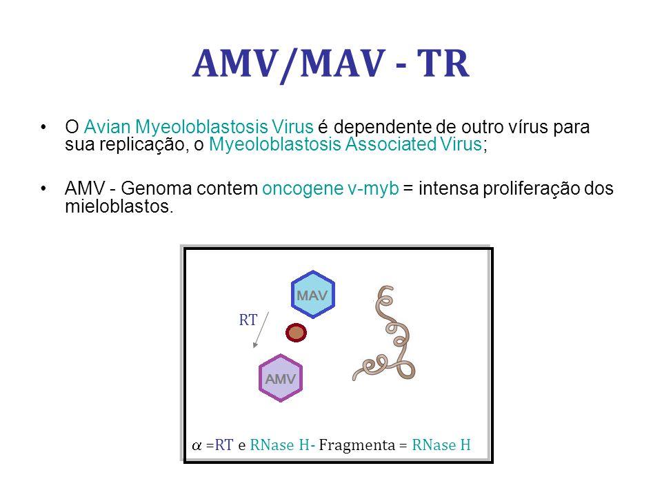 AMV/MAV - TR O Avian Myeoloblastosis Virus é dependente de outro vírus para sua replicação, o Myeoloblastosis Associated Virus; AMV - Genoma contem oncogene v-myb = intensa proliferação dos mieloblastos.