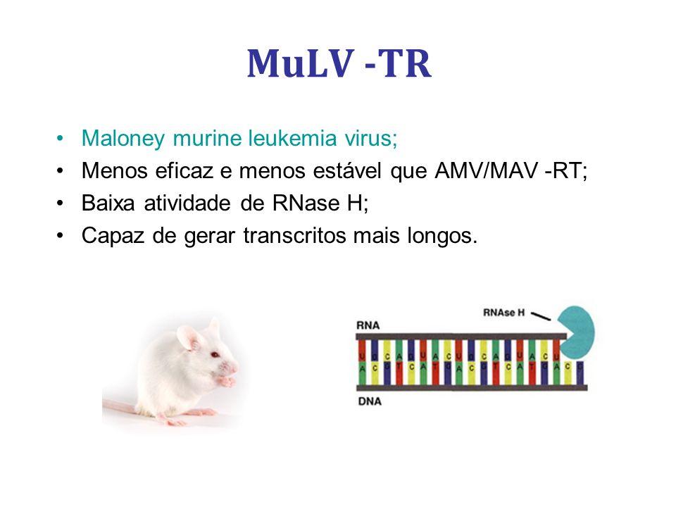 MuLV -TR Maloney murine leukemia virus; Menos eficaz e menos estável que AMV/MAV -RT; Baixa atividade de RNase H; Capaz de gerar transcritos mais longos.