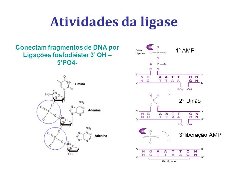 Atividades da ligase Conectam fragmentos de DNA por Ligações fosfodiéster 3 OH – 5PO4- 1° AMP 2° União 3°liberação AMP