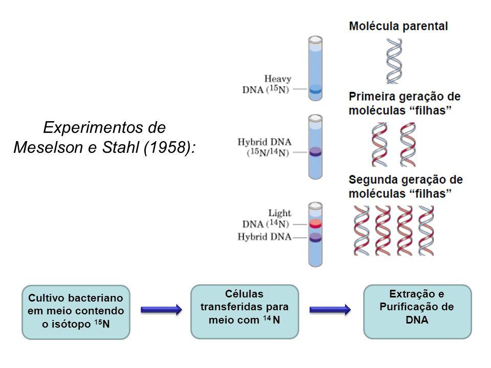 Cultivo bacteriano em meio contendo o isótopo 15 N Células transferidas para meio com 14 N Extração e Purificação de DNA Experimentos de Meselson e St