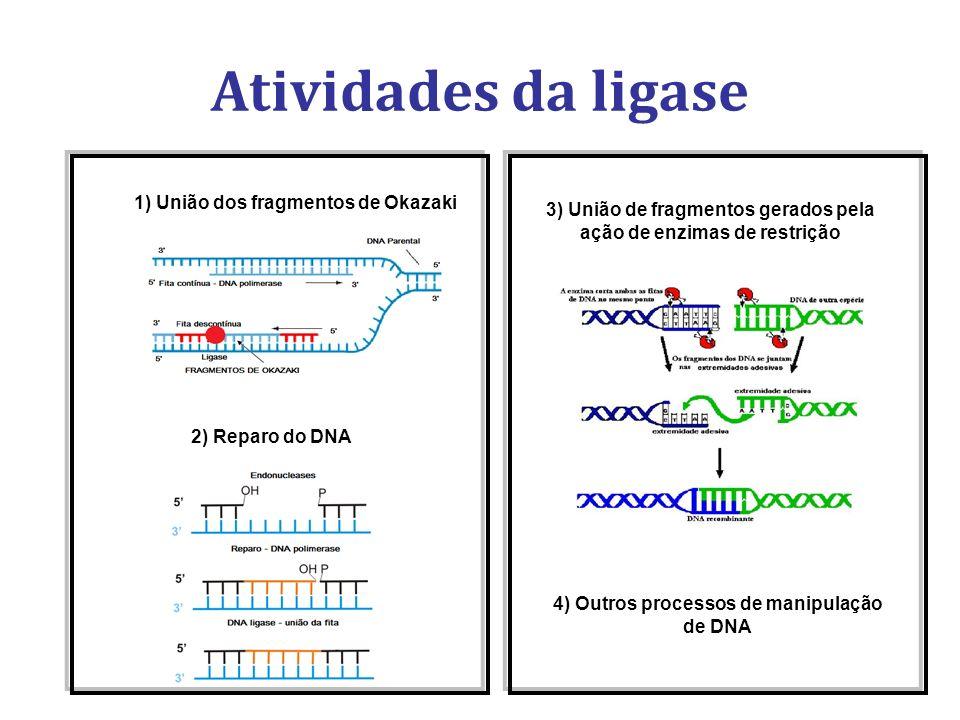1) União dos fragmentos de Okazaki 2) Reparo do DNA 3) União de fragmentos gerados pela ação de enzimas de restrição Atividades da ligase 4) Outros pr