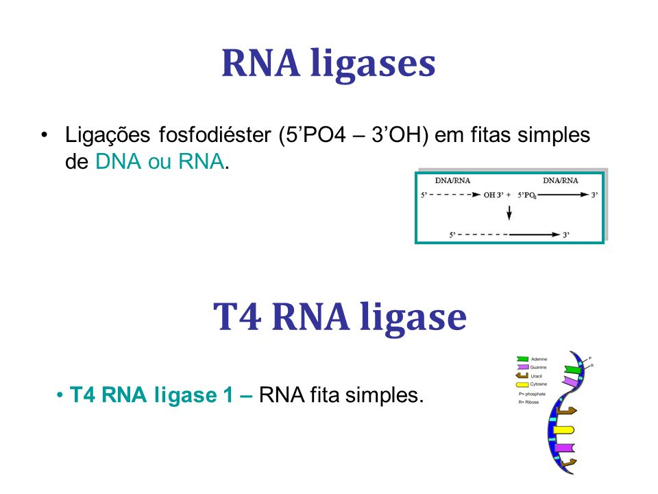RNA ligases Ligações fosfodiéster (5PO4 – 3OH) em fitas simples de DNA ou RNA. T4 RNA ligase T4 RNA ligase 1 – RNA fita simples.
