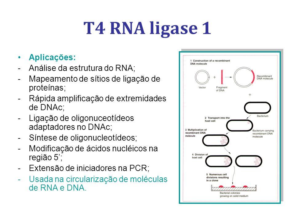 T4 RNA ligase 1 Aplicações: -Análise da estrutura do RNA; -Mapeamento de sítios de ligação de proteínas; -Rápida amplificação de extremidades de DNAc; -Ligação de oligonuceotídeos adaptadores no DNAc; -Síntese de oligonucleotídeos; -Modificação de ácidos nucléicos na região 5; -Extensão de iniciadores na PCR; -Usada na circularização de moléculas de RNA e DNA.