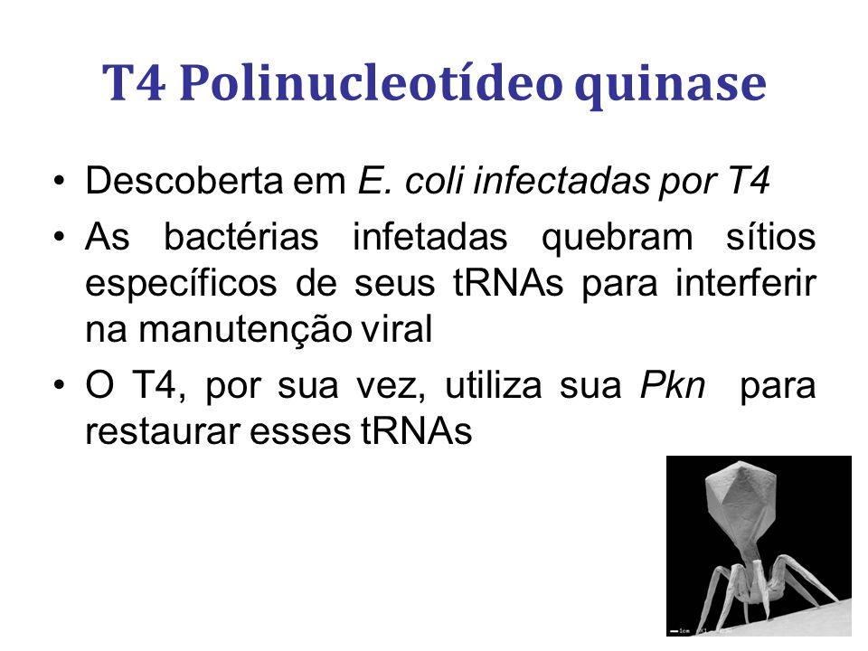 Descoberta em E. coli infectadas por T4 As bactérias infetadas quebram sítios específicos de seus tRNAs para interferir na manutenção viral O T4, por
