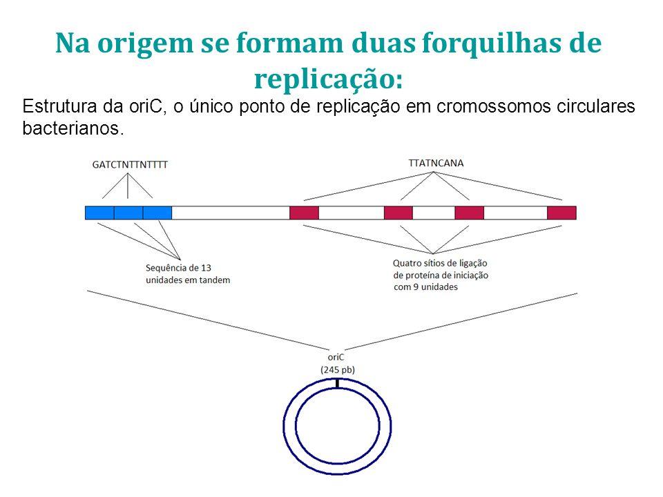 DNA Replicado DNA Parental Forquilha de Replicação Forquilha de replicação: Região do DNA onde ocorre a transição do DNA parental fita dupla para as novas fitas filhas duplas.