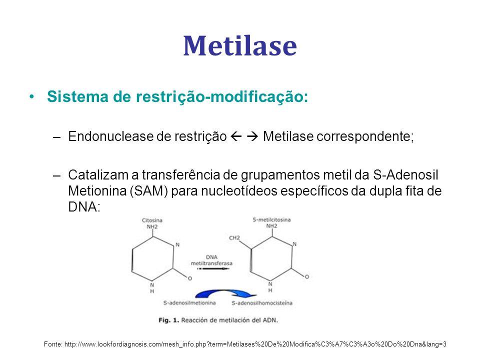 Metilase Sistema de restrição-modificação: –Endonuclease de restrição Metilase correspondente; –Catalizam a transferência de grupamentos metil da S-Adenosil Metionina (SAM) para nucleotídeos específicos da dupla fita de DNA: Fonte: http://www.lookfordiagnosis.com/mesh_info.php?term=Metilases%20De%20Modifica%C3%A7%C3%A3o%20Do%20Dna&lang=3