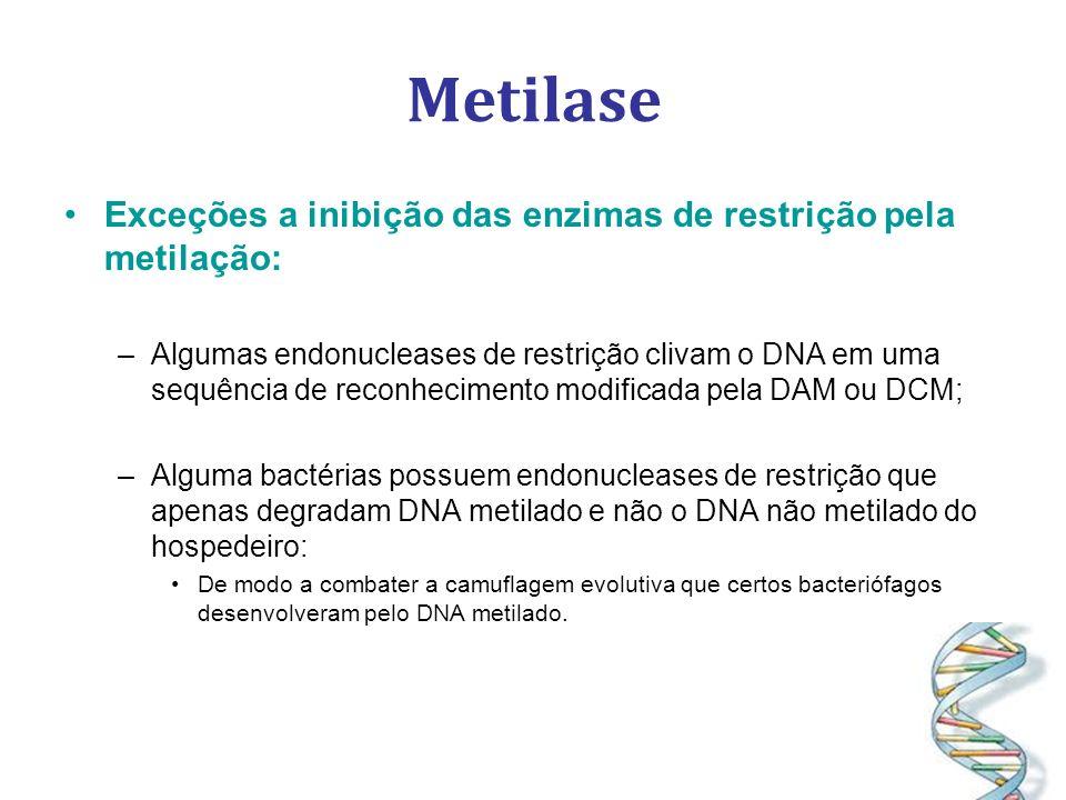 Metilase Exceções a inibição das enzimas de restrição pela metilação: –Algumas endonucleases de restrição clivam o DNA em uma sequência de reconhecimento modificada pela DAM ou DCM; –Alguma bactérias possuem endonucleases de restrição que apenas degradam DNA metilado e não o DNA não metilado do hospedeiro: De modo a combater a camuflagem evolutiva que certos bacteriófagos desenvolveram pelo DNA metilado.