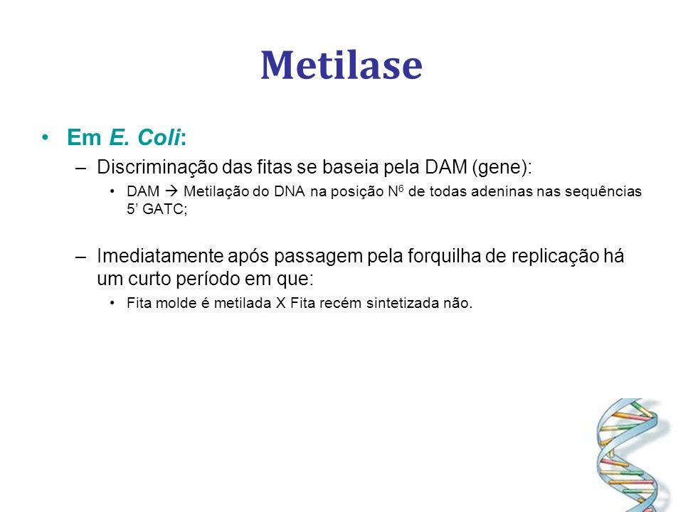 Metilase Em E. Coli: –Discriminação das fitas se baseia pela DAM (gene): DAM Metilação do DNA na posição N 6 de todas adeninas nas sequências 5 GATC;