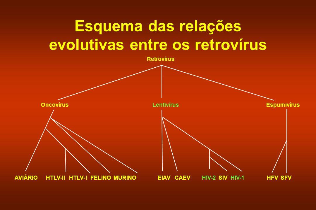 AVIÁRIO HTLV-II HTLV- I FELINO MURINO Retrovírus Oncovírus Lentivírus Espumivírus EIAV CAEV HIV-2 SIV HIV-1 HFV SFV Esquema das relações evolutivas en