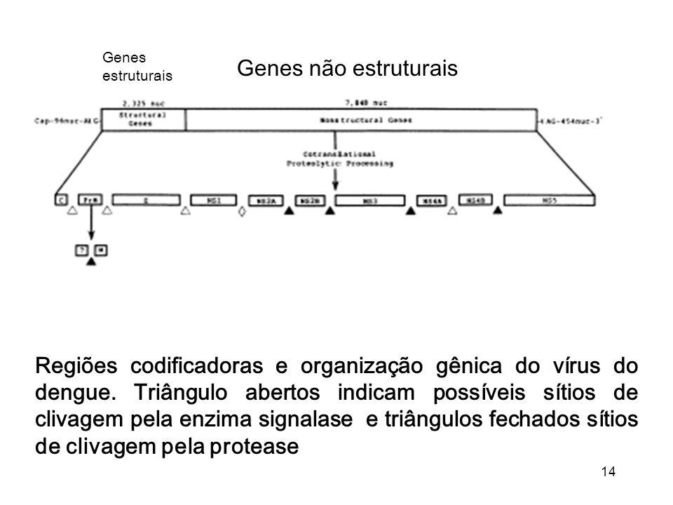 14 Genes estruturais Genes não estruturais Regiões codificadoras e organização gênica do vírus do dengue. Triângulo abertos indicam possíveis sítios d