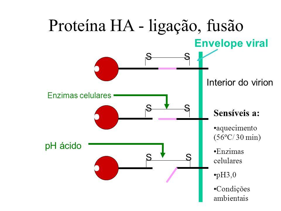 SS SS SS Enzimas celulares pH ácido Proteína HA - ligação, fusão Interior do virion Envelope viral Sensíveis a: aquecimento (56ºC/ 30 min) Enzimas cel