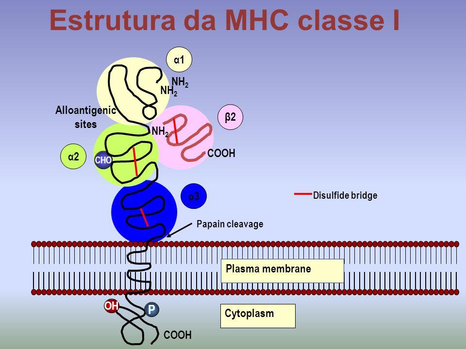 NH 2 Alloantigenic sites CHO NH 2 COOH P α1 α2 α3 β2 OH Plasma membrane Disulfide bridge Papain cleavage Cytoplasm NH 2 Estrutura da MHC classe I