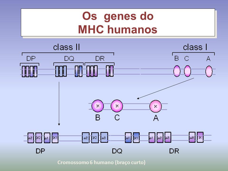 Os genes do MHC humanos Cromossomo 6 humano (braço curto)