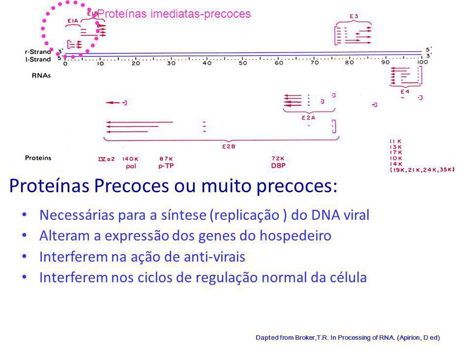 10 Proteínas Precoces ou muito precoces: Necessárias para a síntese (replicação ) do DNA viral Alteram a expressão dos genes do hospedeiro Interferem