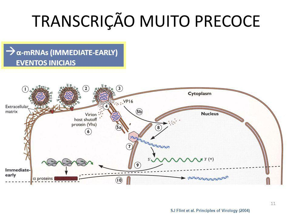 11 TRANSCRIÇÃO MUITO PRECOCE α-mRNAs (IMMEDIATE-EARLY) EVENTOS INICIAIS SJ Flint et al. Principles of Virology (2004)