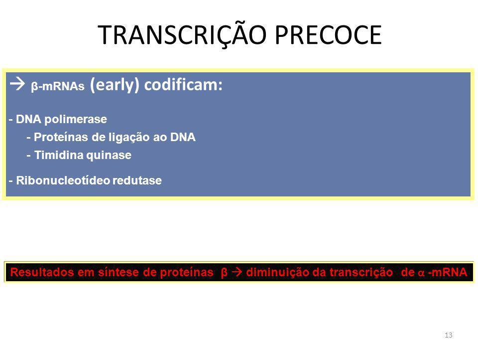 13 TRANSCRIÇÃO PRECOCE β-mRNAs (early) codificam: - DNA polimerase - Proteínas de ligação ao DNA - Timidina quinase - Ribonucleotídeo redutase Resulta