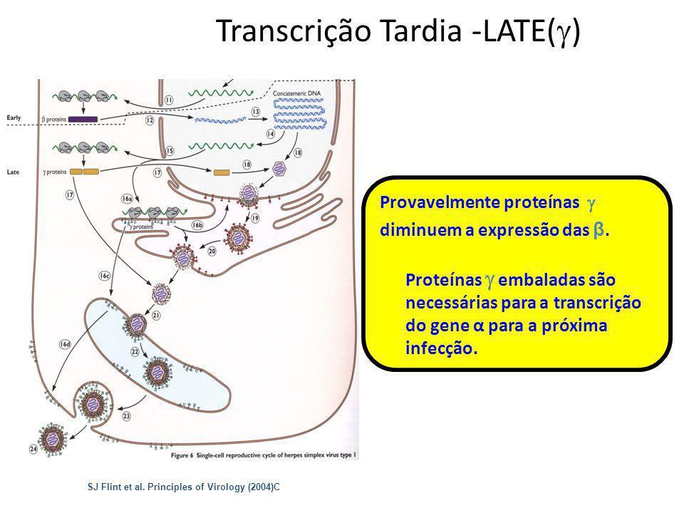 14 Transcrição Tardia -LATE( ) Provavelmente proteínas diminuem a expressão das β. Proteínas embaladas são necessárias para a transcrição do gene α pa