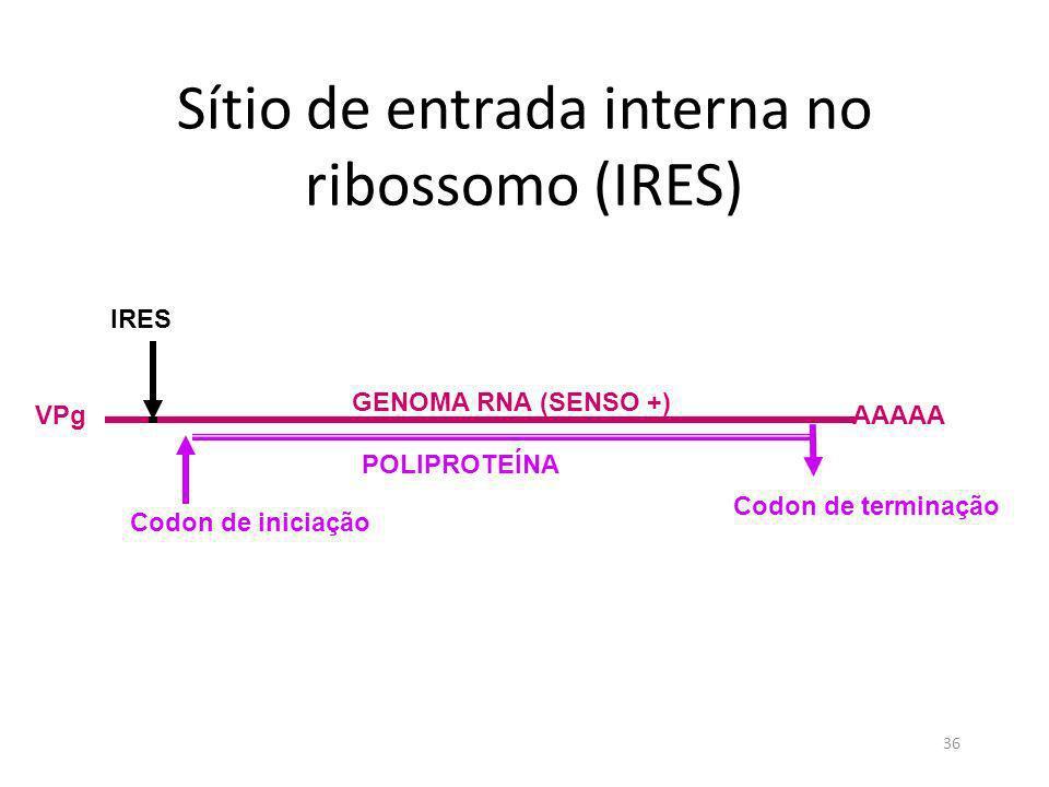 36 Sítio de entrada interna no ribossomo (IRES) GENOMA RNA (SENSO +) AAAAAVPg IRES Codon de iniciação Codon de terminação POLIPROTEÍNA