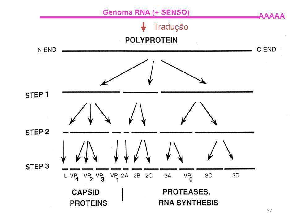 37 Genoma RNA (+ SENSO) AAAAA Tradução