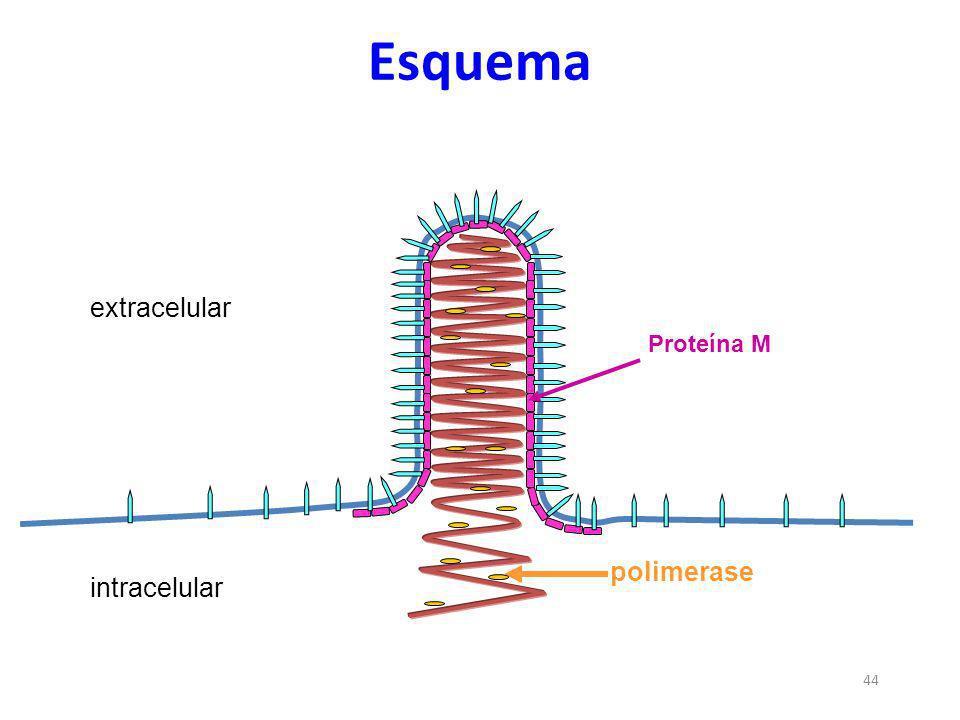 44 polimerase intracelular extracelular Esquema Proteína M