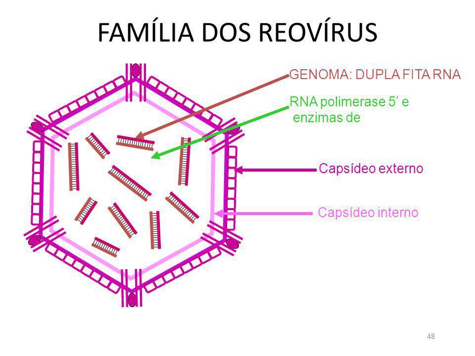 48 FAMÍLIA DOS REOVÍRUS GENOMA: DUPLA FITA RNA Capsídeo externo Capsídeo interno RNA polimerase 5 e enzimas de