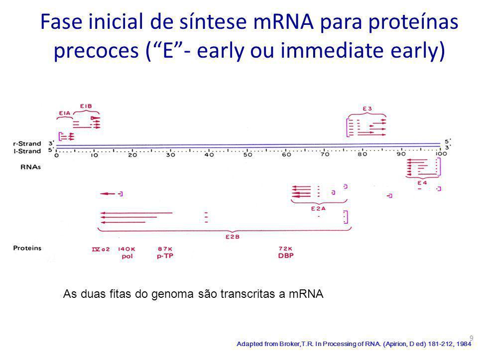 10 Proteínas Precoces ou muito precoces: Necessárias para a síntese (replicação ) do DNA viral Alteram a expressão dos genes do hospedeiro Interferem na ação de anti-virais Interferem nos ciclos de regulação normal da célula Dapted from Broker,T.R.