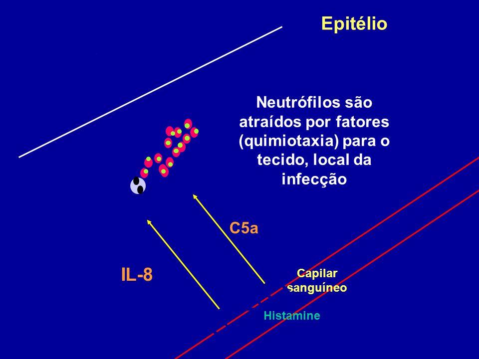 Epitélio Capilar sanguíneo IL-8 C5a Histamine Neutrófilos são atraídos por fatores (quimiotaxia) para o tecido, local da infecção