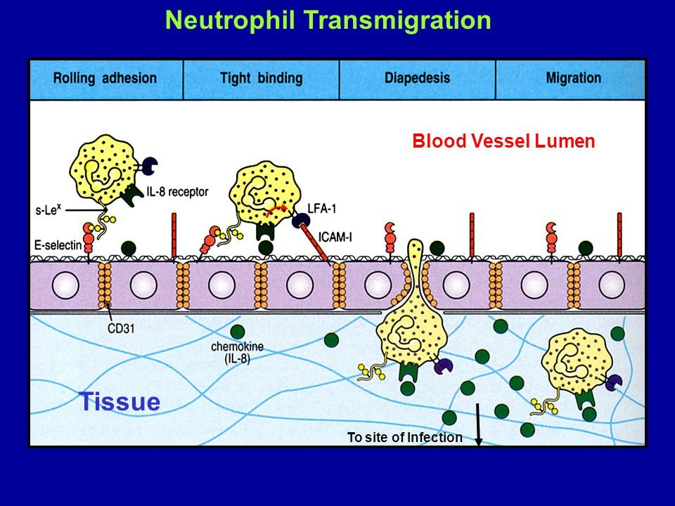 Neutrophil Transmigration To site of Infection Blood Vessel Lumen Tissue