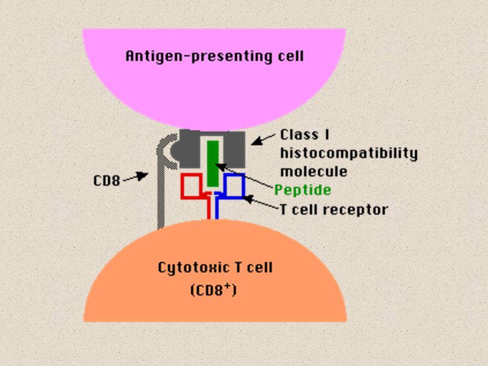 Aspectos do MHC (contin.) Citocinas (especialmente interferon-γ) podem aumentar o grau de expressão de MHC.