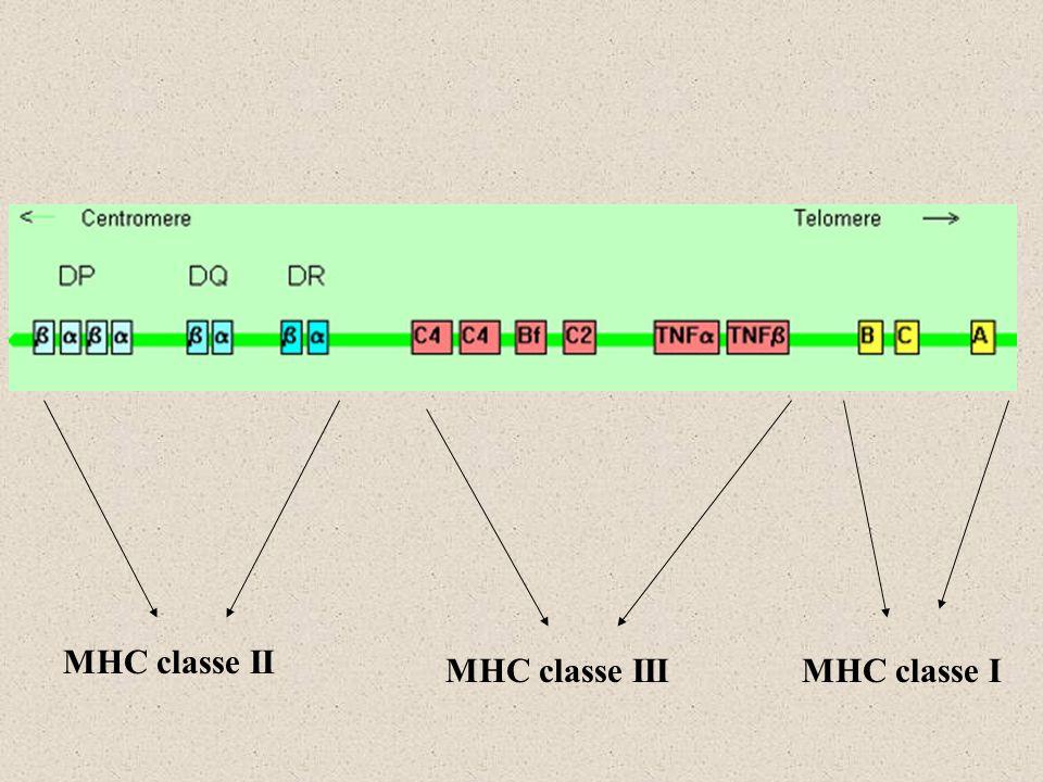 MHC classe II MHC classe IIIMHC classe I