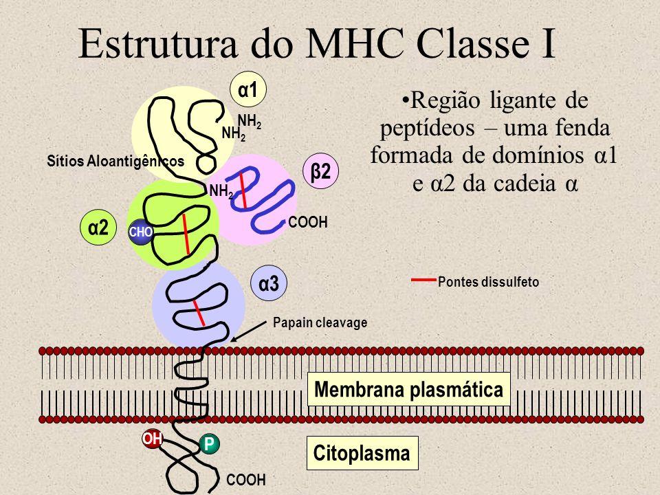 Estrutura do MHC Classe I NH 2 Sítios Aloantigênicos CHO NH 2 COOH P α1 α2 α3 β2 OH Membrana plasmática Pontes dissulfeto Papain cleavage Citoplasma N