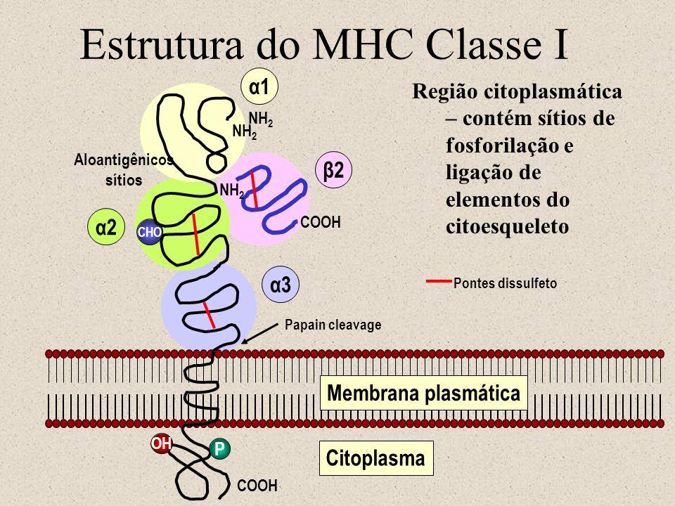 Estrutura do MHC Classe I NH 2 Aloantigênicos sítios CHO NH 2 COOH P α1 α2 α3 β2 OH Membrana plasmática Pontes dissulfeto Papain cleavage Citoplasma N