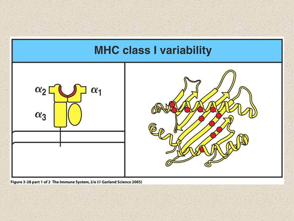 Estrutura do MHC Classe II Membrana plasmática Citoplasma CHO NH 2 COOH α1 α2β2 β1 Duas cadeias polipeptídicas, α e β, de tamanhos iguais
