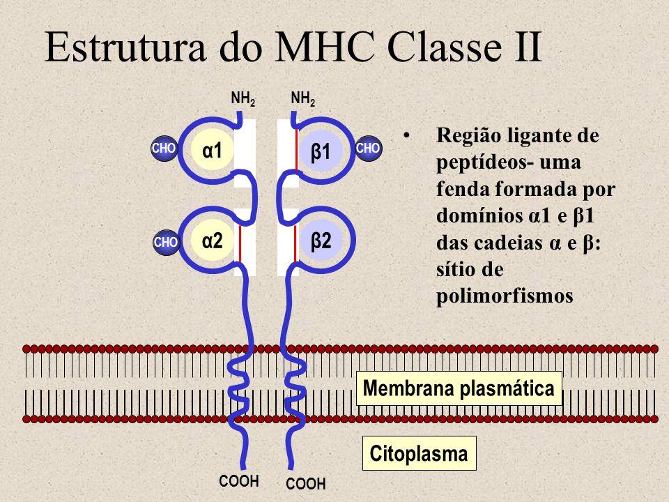 Estrutura do MHC Classe II Membrana plasmática Citoplasma CHO NH 2 COOH α1 α2β2 β1 Região ligante de peptídeos- uma fenda formada por domínios α1 e β1