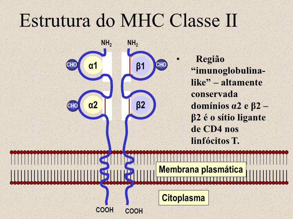 Estrutura do MHC Classe II Membrana plasmática Citoplasma CHO NH 2 COOH α1 α2β2 β1 Região imunoglobulina- like – altamente conservada domínios α2 e β2