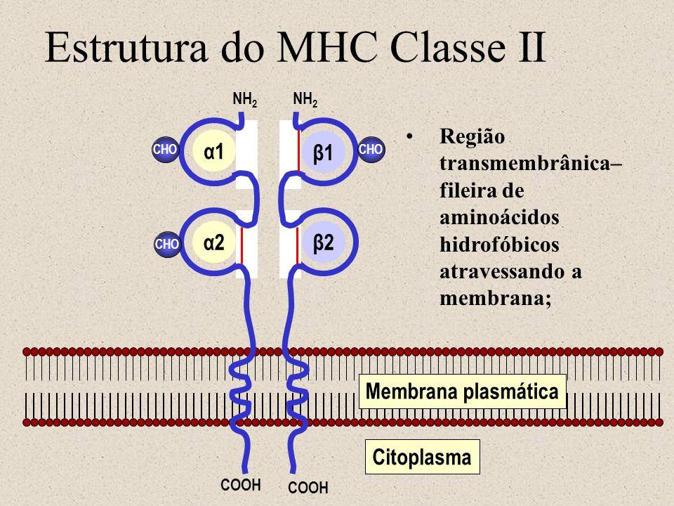Estrutura do MHC Classe II Membrana plasmática Citoplasma CHO NH 2 COOH α1 α2β2 β1 Região transmembrânica– fileira de aminoácidos hidrofóbicos atraves