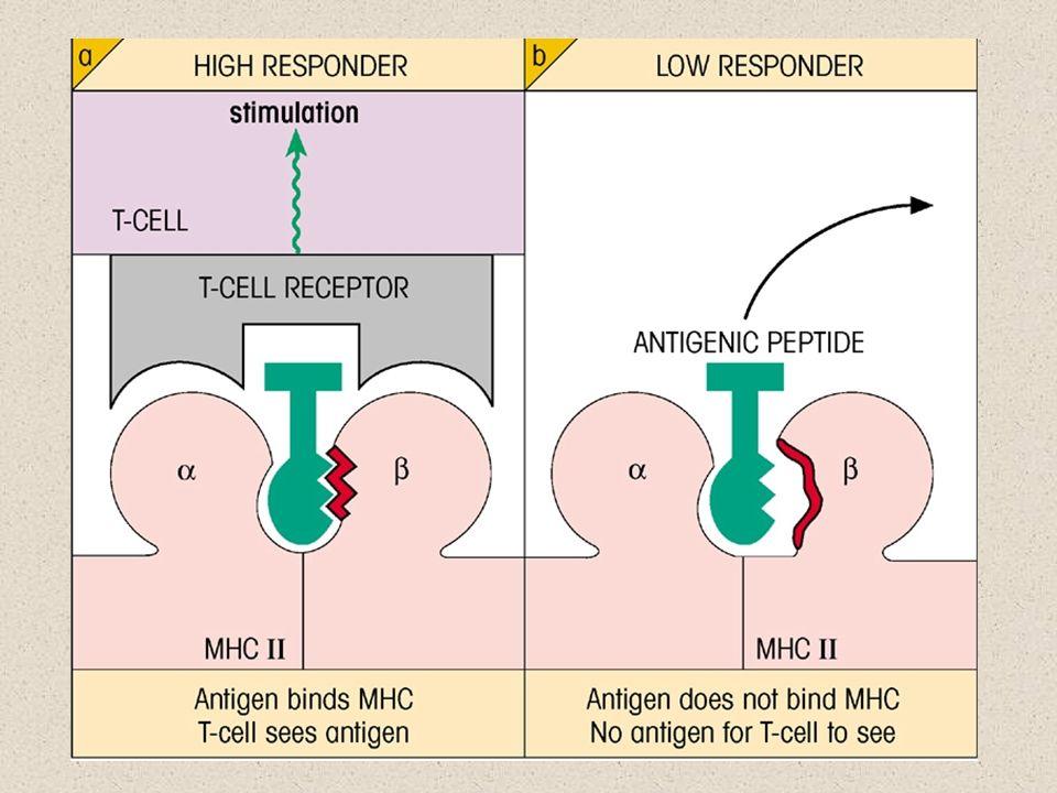 Aspectos do MHC Moléculas MHC são ligadas à membrana celular.