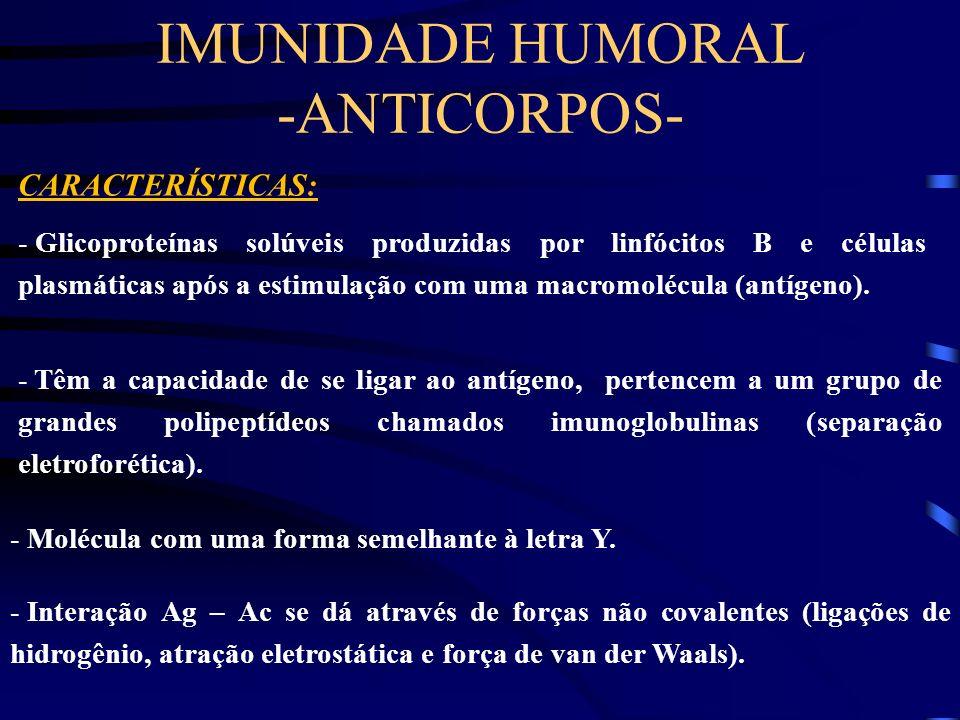 IMUNIDADE HUMORAL -ANTICORPOS- CARACTERÍSTICAS: - Glicoproteínas solúveis produzidas por linfócitos B e células plasmáticas após a estimulação com uma