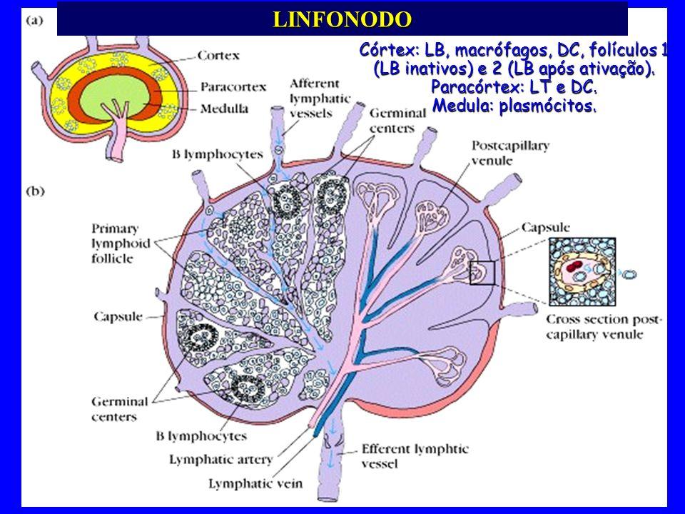 LINFONODO Córtex: LB, macrófagos, DC, folículos 1 (LB inativos) e 2 (LB após ativação). Paracórtex: LT e DC. Medula: plasmócitos.