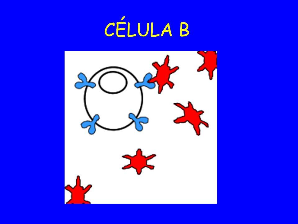 CÉLULA B